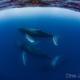 親子クジラ+エスコートの3頭とスイム in沖縄本島